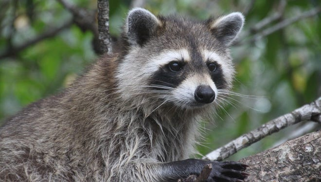 A raccoon in the Florida Everglades.
