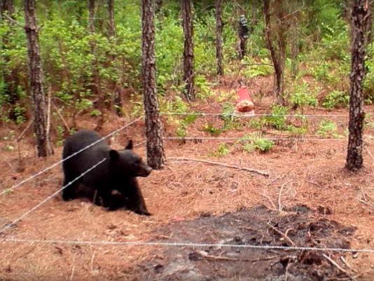 Bear Florida Fish And Wildlife Conservation Commission