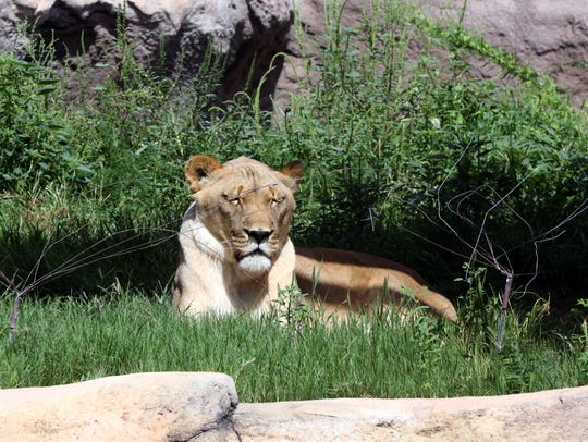 A female African lion basks in the morning sun at the