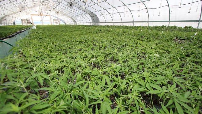 Hemp plants in Warwick in July 2019.