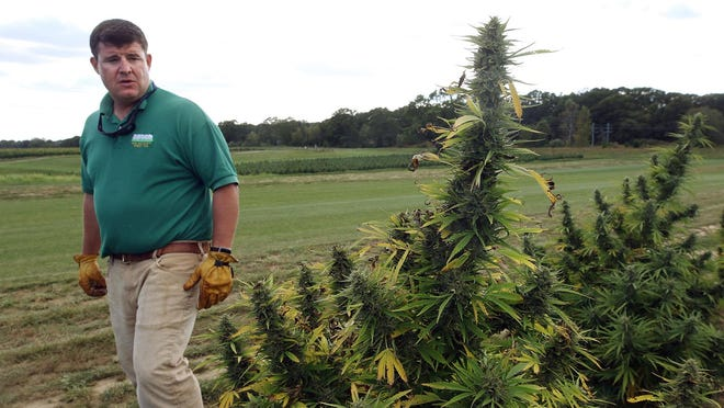In a photo from September, Dawson Hodgson looks over a crop of hemp plants at his farm in North Kingstown.
