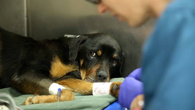 Patient Gracie has tests done at the Small Animal Emergency and Critical Care Service at the University of Tennessee College of Veterinary Medicine Tuesday, Nov. 15, 2016.