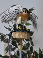 Open Door Bird Sanctuary of Sturgeon Bay will bring live birds of prey, such as this American kestrel, to its program at Saturday's Bird City Celebration in Algoma.