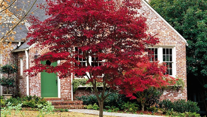 Japanese maple trees are prone to leaf scorch this time of year.