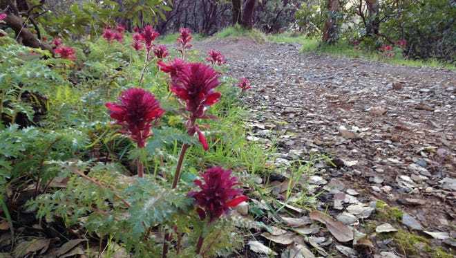 Warrior's plume is one of the first flowers to bloom along the trails.