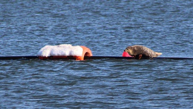 A seal was sunning itself Tuesday afternoon on a dredge pipe in the Shark River