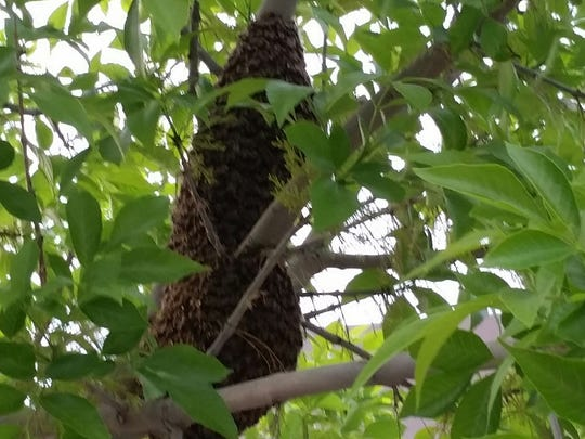 A bee swarm rests in a Las Cruces tree in late March