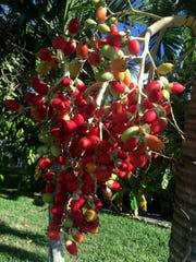 Christmas palm seeds