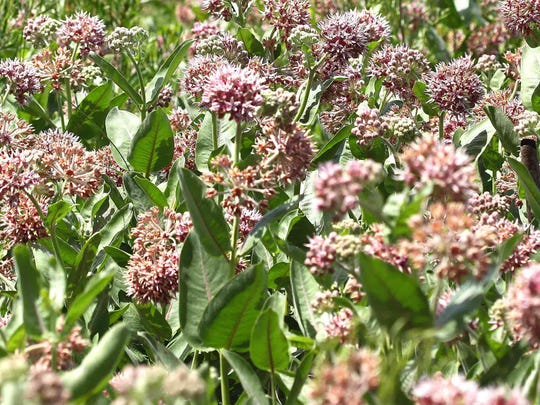Patch of showy milkweed