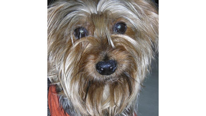 """This undated photo shows Archie, a Yorkshire Terrier who has performed in more than 125 performances of """"The Nutcracker."""" Festival Ballet Providence has announced that its beloved 19-year-old Nutcracker dog is retiring from the stage."""