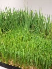 Sunshine Juice Co. grows their own wheatgrass for juicing,