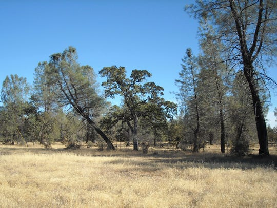 Gray pines are common in the blue oak woodlands that