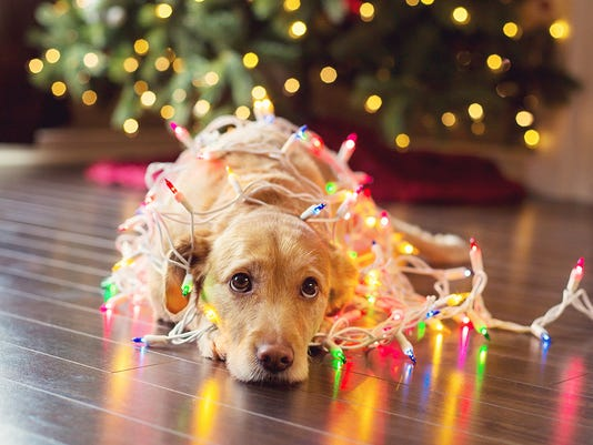 Pup wrapped up in Chistmas lights