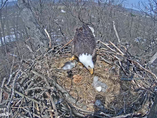 The parent eagle feeds the older eaglet pieces of fish