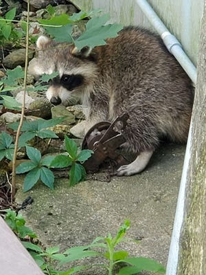 This trapped raccoon was brought to the Cummings School of Veterinary Medicine at Tufts University in Grafton, where it was euthanized.