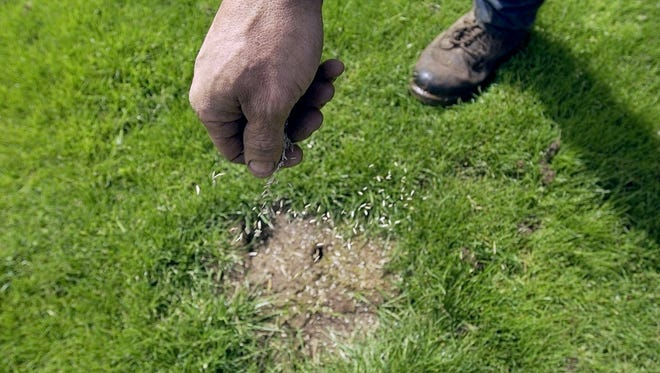 Grass seed is sprinkled over a bare spot.