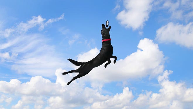 Shadow from Rockford, Ohio, flies through the air during a dock dog competition at the Gander Mountain store in Castleton.
