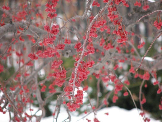 The fruits of crabapple trees retain color throughout