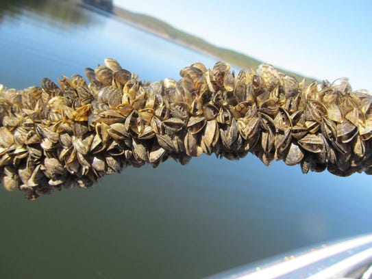 In just weeks, zebra mussels can cover rocks, boat