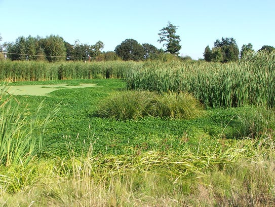 A natural wetland adjacent to the Willow Lake Wastewater