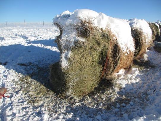 Haystacks destroyed by deer in winter.