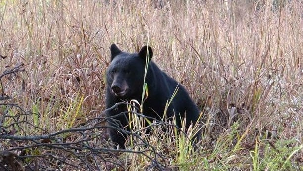 A bear foraging in Indian grass.
