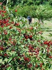 The popular Montmorency (tart) cherries are ready in southern Door County and are expected to ripen in the upcoming days traveling north into the peninsula. Due to heat, peak may be earlier than average this year. This photo was taken at Paradise Farms Orchard, 2565 County C, Brussels.