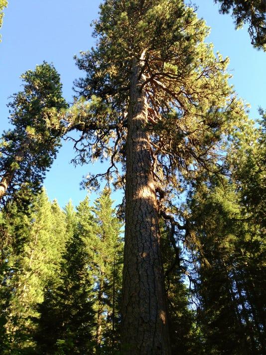 636159368958878424-Trout-Lake-Big-Tree-02.JPG