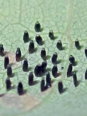 Lace bug eggs laid on end and covered with frass.