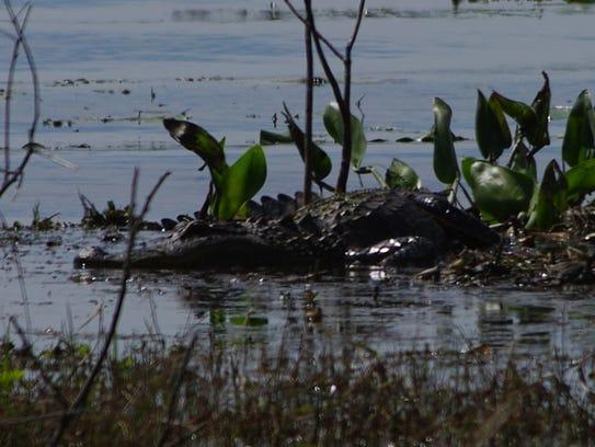 Lake Jackson gators have been more visible lately.