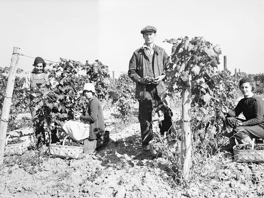 Employees of Lonz Winery pick grapes for its world-famous wine in 1935.
