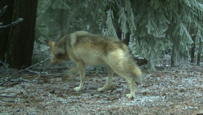 Images of two wolves in the northern portion of Oregon's Cascade Mountains were captured on remote ODFW cameras on the Mount Hood National Forest. Photos taken Jan. 4, 2018.
