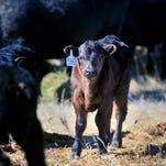 Infrared cameras in Montana calving barns? Tired ranchers go high-tech