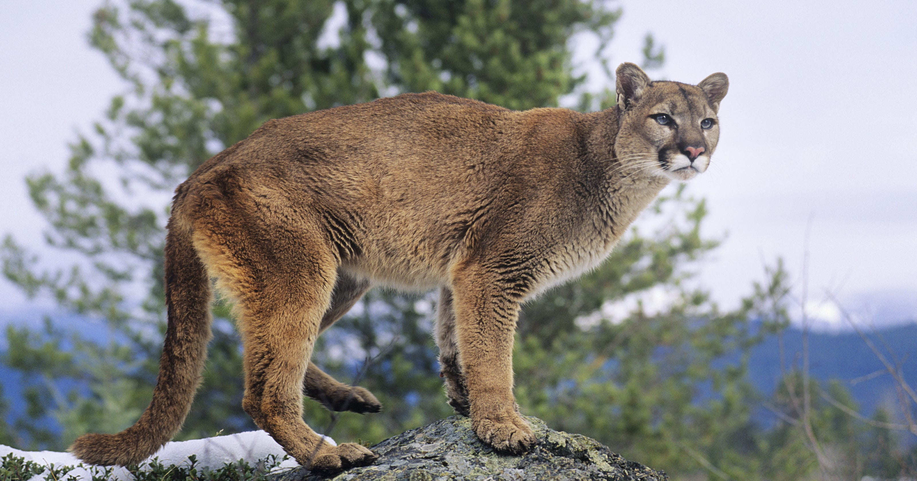 5196655179d01 Garrison woman says she tailed a mountain lion