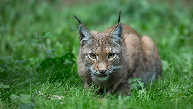 "The number of bobcats has been increasing across New York state, but they ""are not common in high numbers in any one location"" because they often live alone, said Benning DeLaMater, a spokesman for the New York State Department of Environmental Conservation, in a statement."