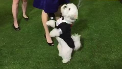 Hank the Ballpark Pup shows off on the green carpet at the World Dog Awards.