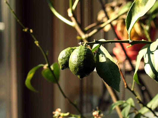 WSF 0112 -gardening-container-citrus-winter.jpg
