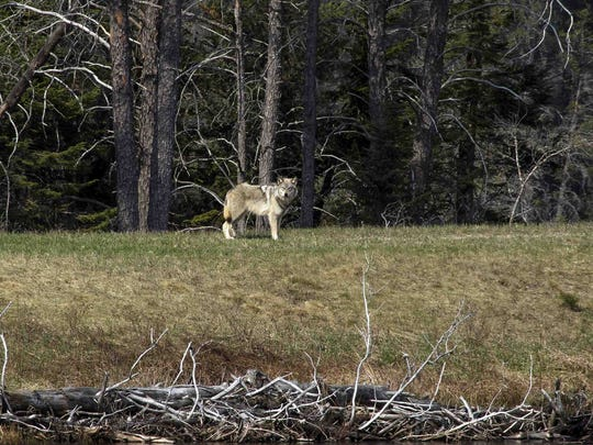 A study of wolves in Michigan's Upper Peninsula found