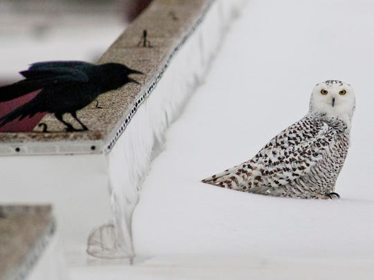 An snowy owl and crow face off on the roof of the Times Herald.