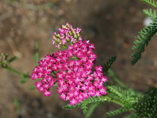 635976505759744209-Yarrow-Cherries.jpg