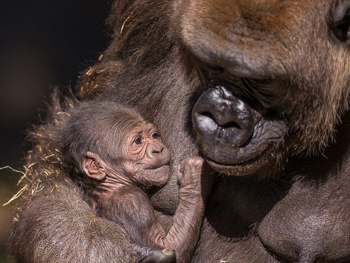 Leslie is the name of a newborn gorilla at the San