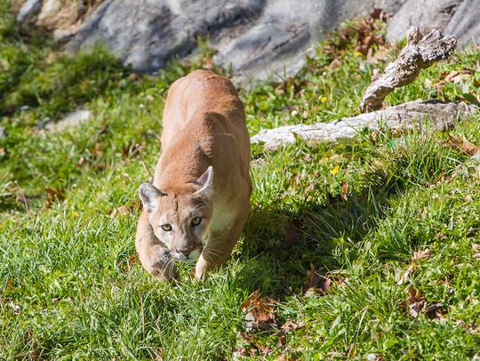 Logan, a 2-year-old Western cougar, explores his new