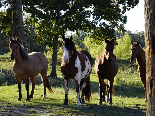Horses at the ranch in their pasture