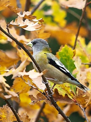 An evening grosbeak photographed Oct. 20 in Chemung County.