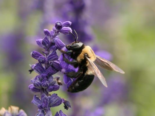 Carpenter_bee
