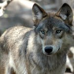 Wolf hunting near Yellowstone closed after quota exceeded