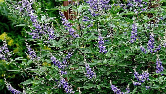 Shoal Creek Vitex dazzles for weeks with the rarest blue in the landscape.