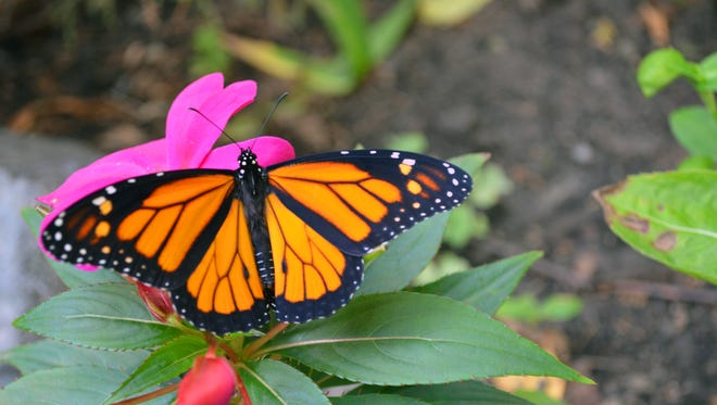Catch the monarch festival at Blank Park Zoo on Sunday.
