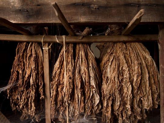 Tobacco leaves hang inside a barn.