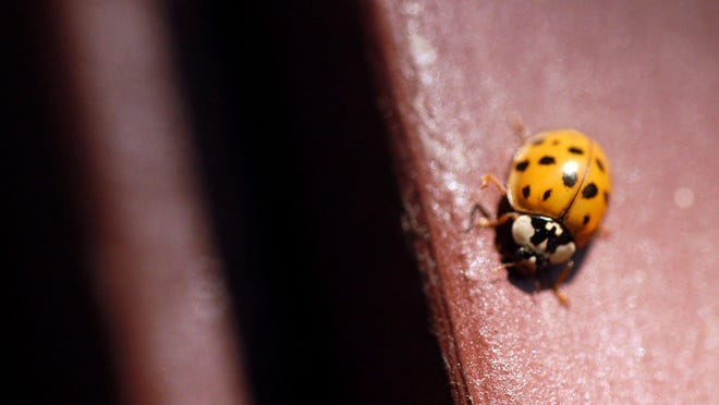 A multicolored Asian lady beetle crawls on the siding of a house.